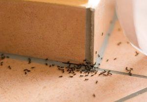 ಇರುವೆ, ants
